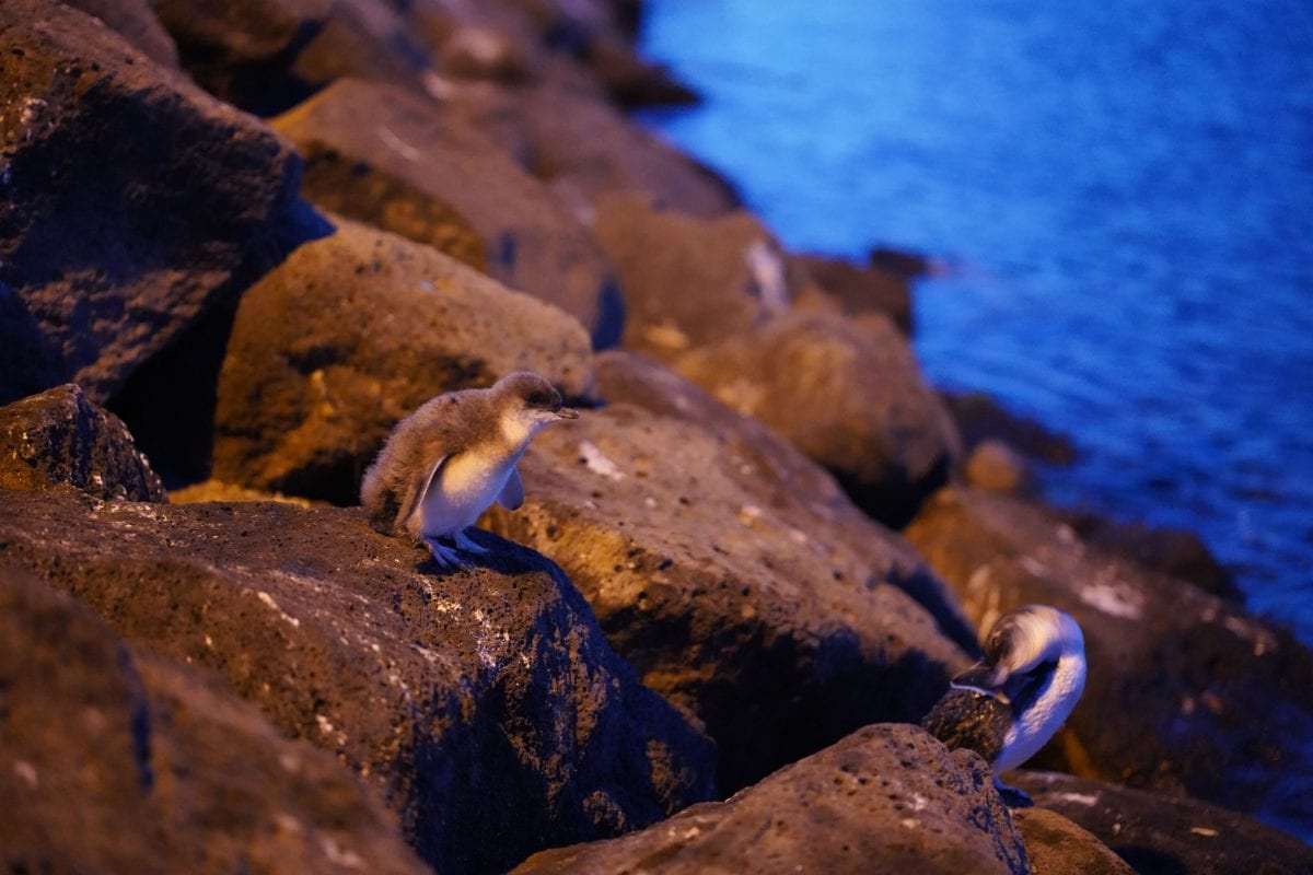 You don't have to leave Melbourne to see penguins - they waddle up to the beach every night in St Kilds