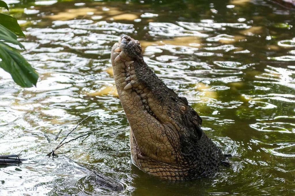 It's possible to see crocs jumping or even swim with crocs in Australia - an Australian activity that's for daredevils!