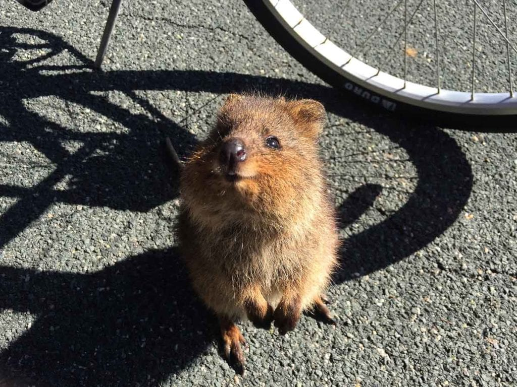 Quokkas are cute marsupials that are found primarily on Rottnest Island in Western Australia - they're friendly and may even stop to take a selfie with you!