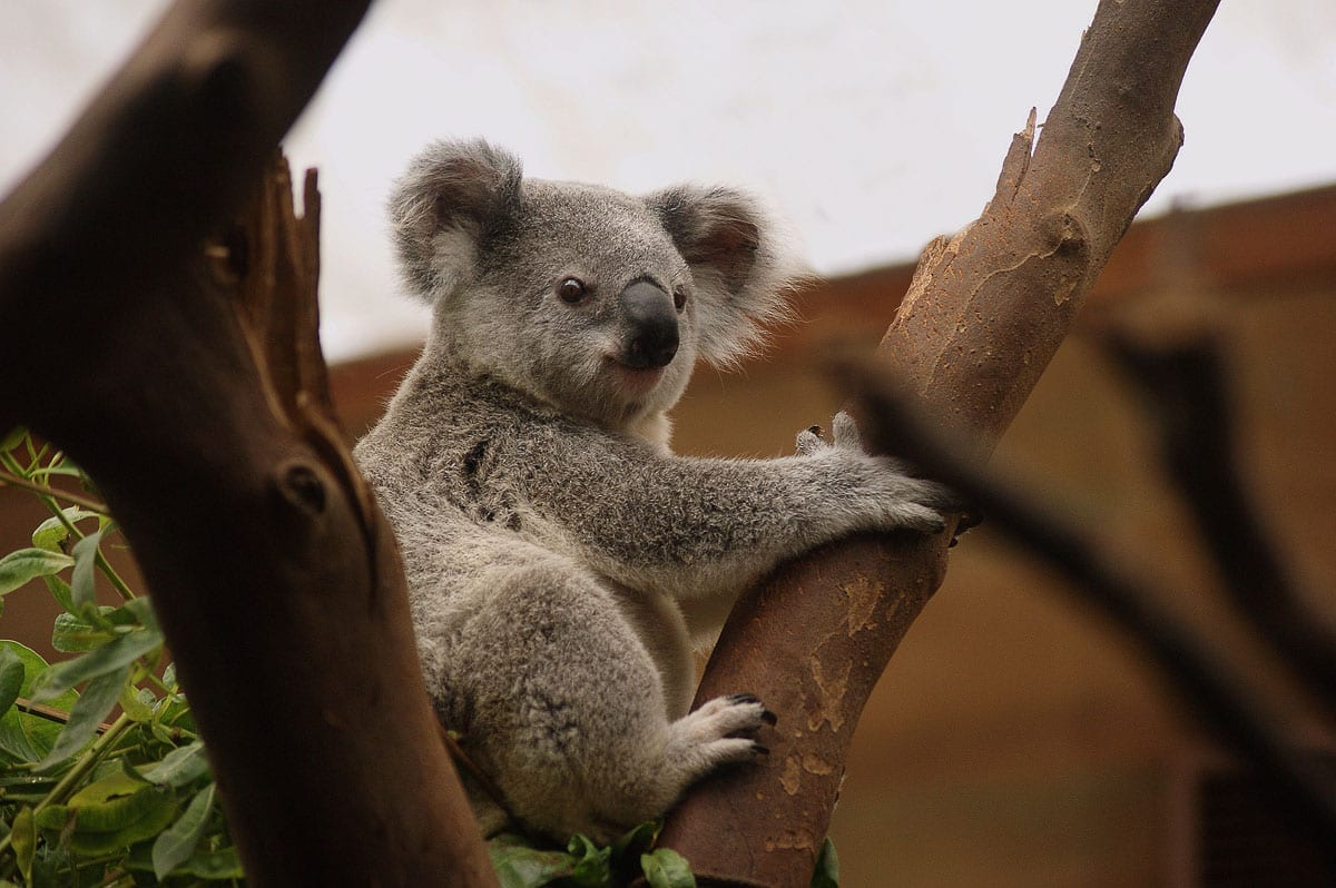 Australia is filled with plenty of furry creatures. Some of the best things to do in Australia are feed kangaroos, meet wallabies and cuddle koalas