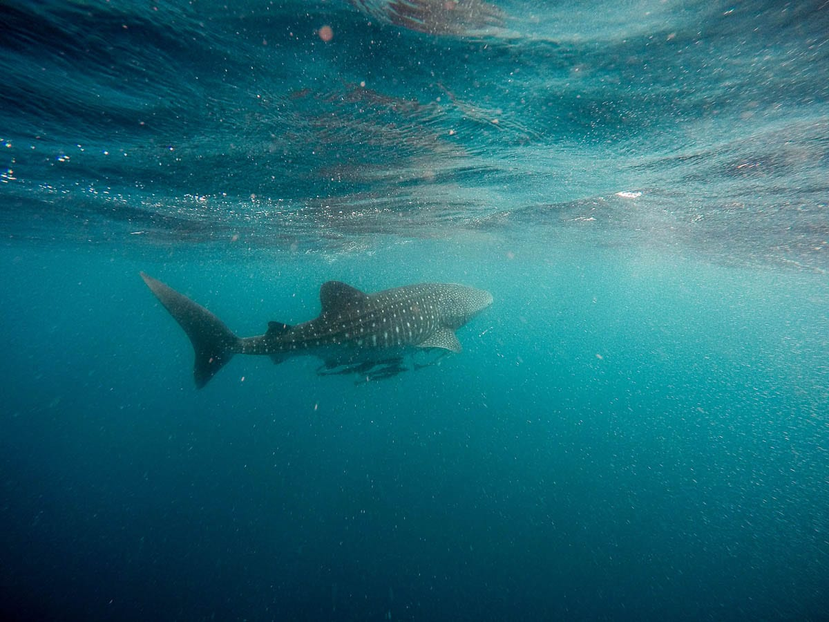 Swimming with whale sharks is a dream for many people, and you can do it in Western Australia - add it to your Australia bucket list for a once in a lifetime experience