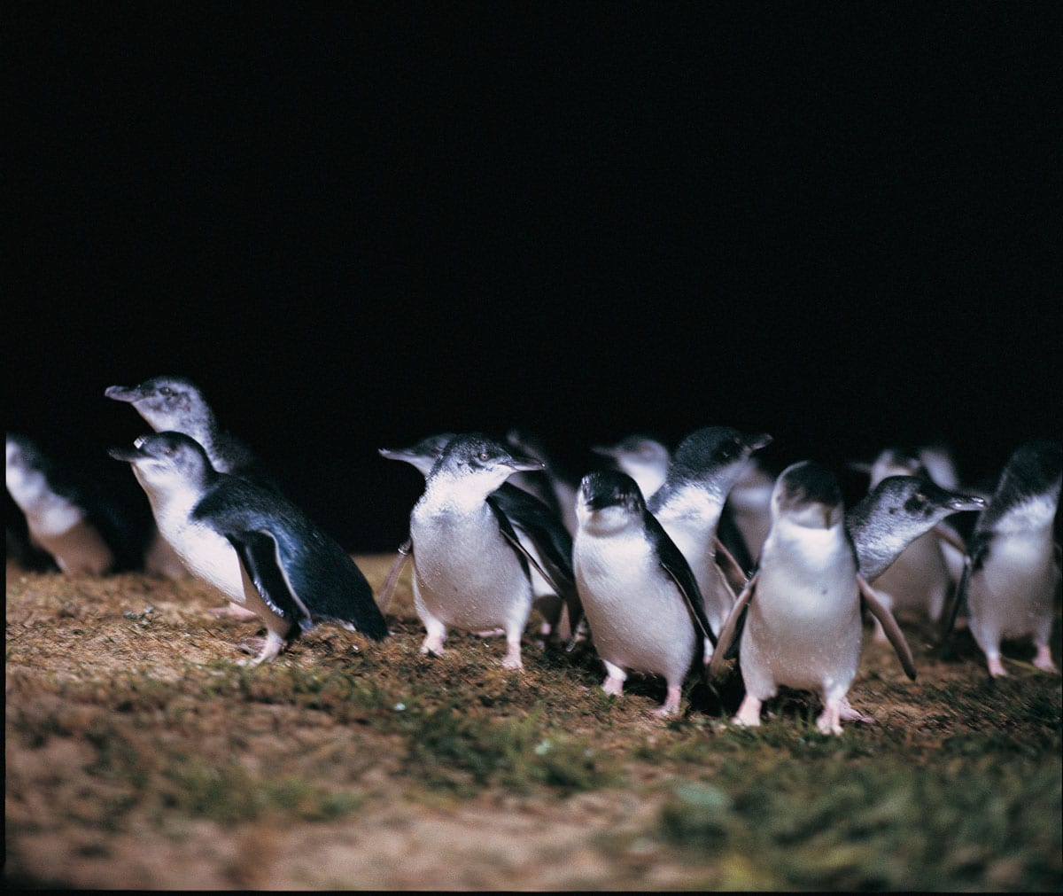 Watching penguins waddle out of the water and into their burrows is one of the cutest things to see in Australia!