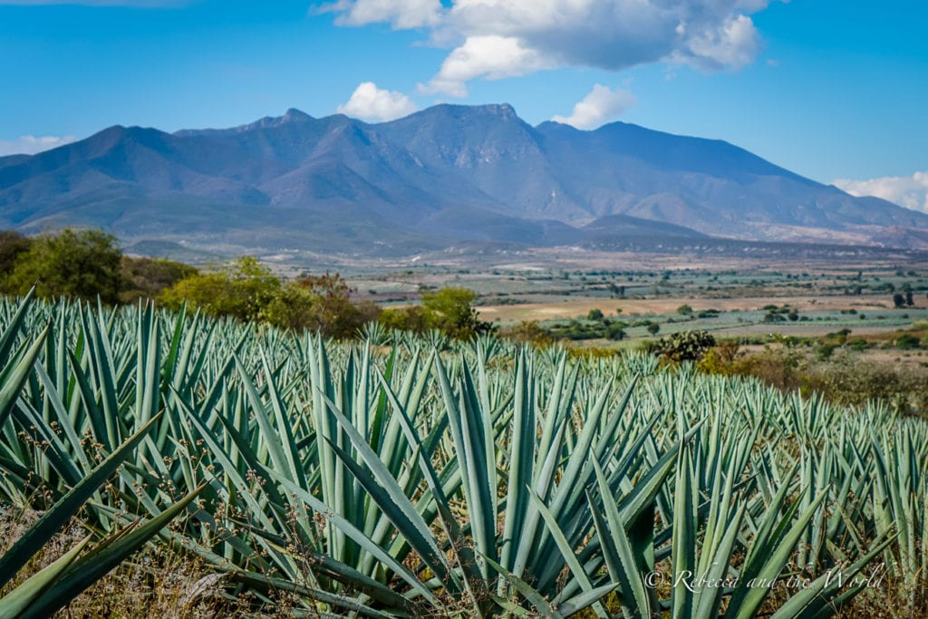 A mezcal tour is one of the best things to do in Oaxaca to discover how this liquor is made