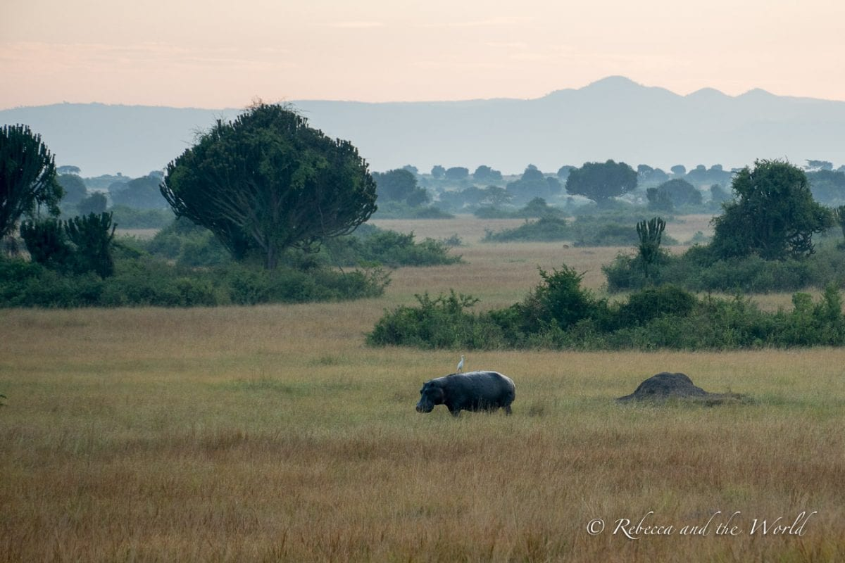 On early morning drives in Queen Elizabeth National Park you'll likely see hippos and plenty of other wildlife