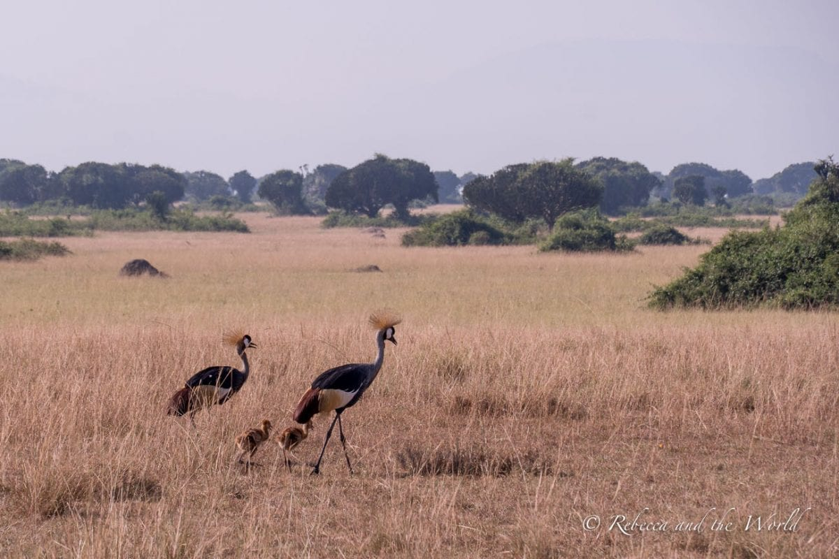 The birdlife in Uganda is incredible, including these two crested cranes and their chicks