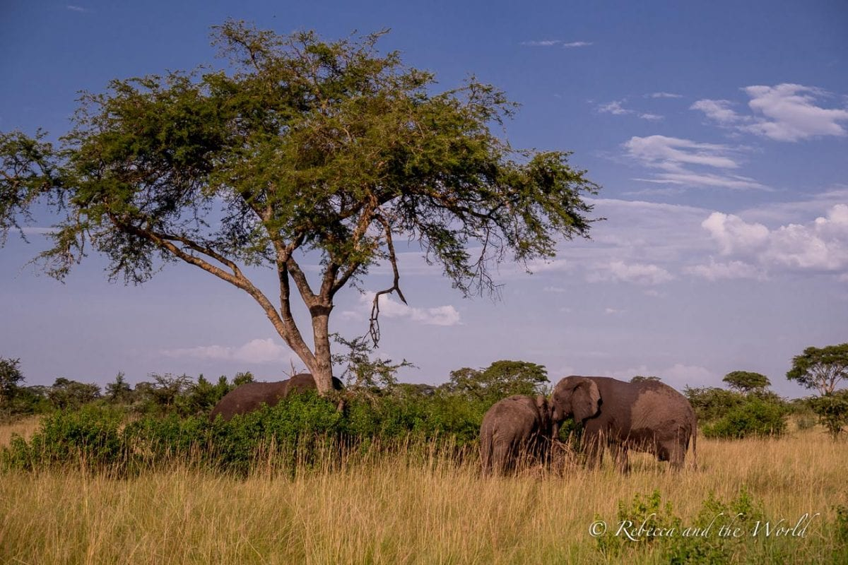 You'll see dozens of elephants in Uganda