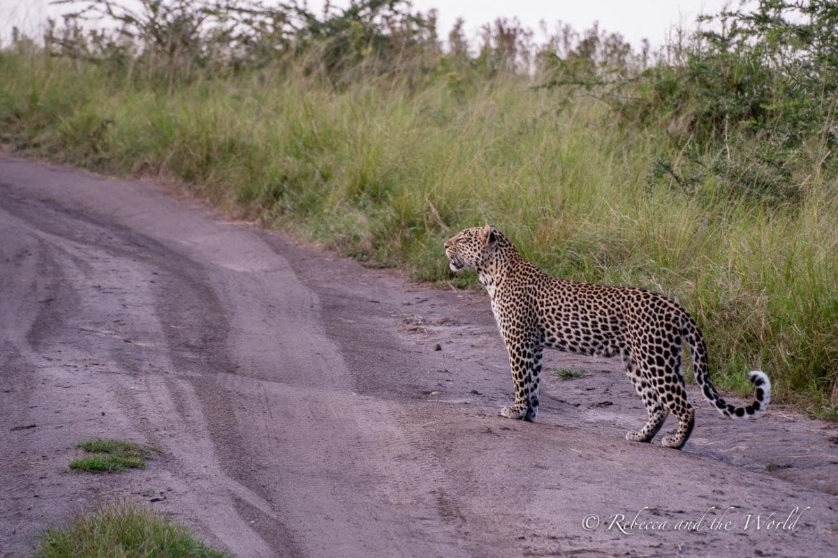 Seeing a leopard was one of the highlights of my Uganda itinerary!
