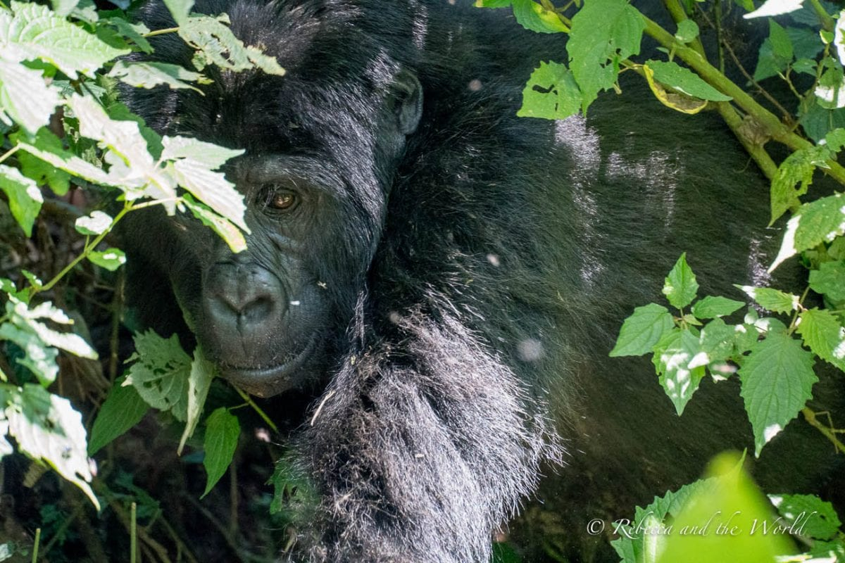 Seeing mountain gorillas in the wild is one of the best things to do in Uganda