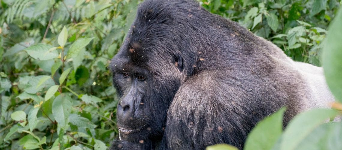 Seeing a silverback on a gorilla trek in Uganda is a highlight of the Uganda itinerary