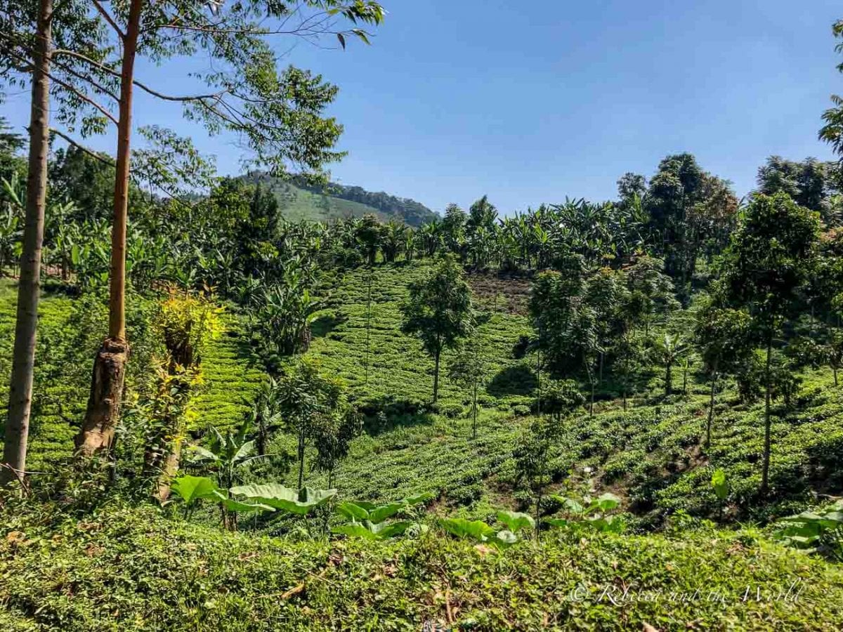 The drive to Kisoro winds through Bwindi Impenetrable National Forest
