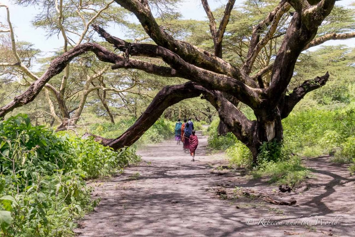 The hike from Ngorongoro to Lake Natron takes visitors through a yellow acacia tree forest