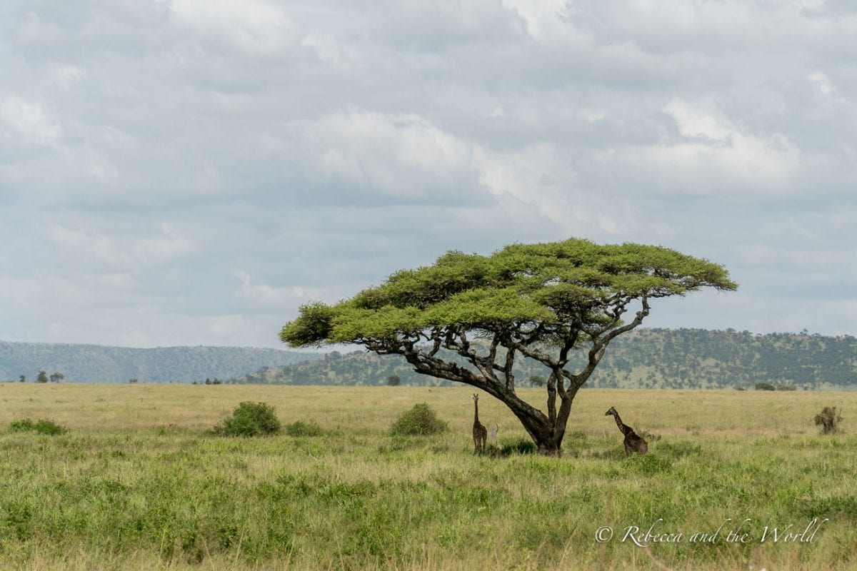 Giraffes are spotted throughout many of the national parks in Tanzania