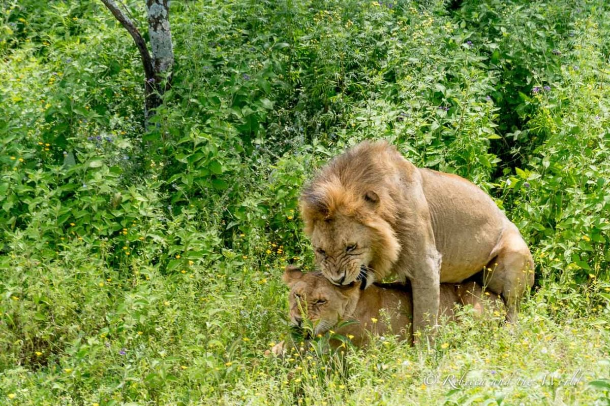 One of the highlights of my trip to Tanzania was seeing lions mating
