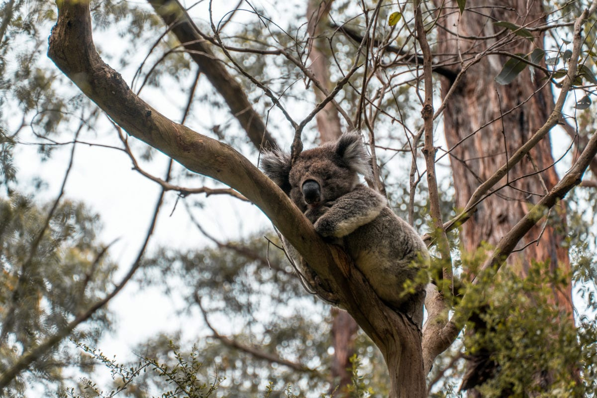 Keep an eye out for koalas along the road to the Cape Otway Lightstation - it's one of the best places to see koalas in the wild