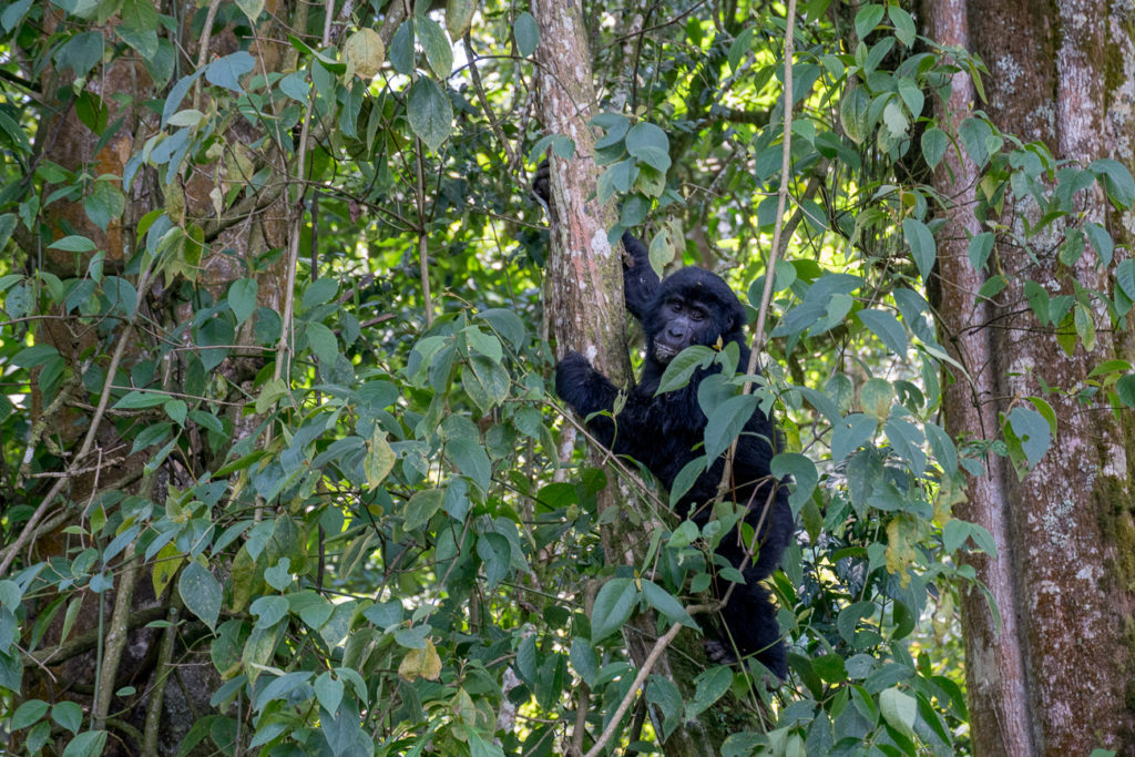 Gorilla trekking is an incredible experience and one you should definitely do if you have the inclination, time and money