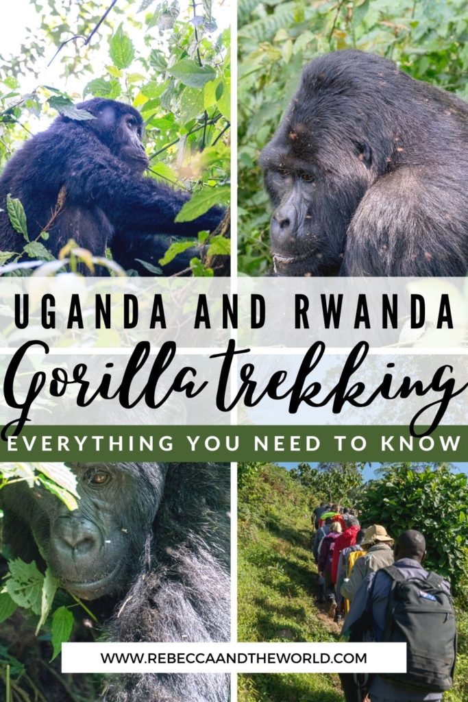 Everything you need to know about gorilla trekking in Uganda and Rwanda. What to expect, when to go, what to pack and more. This once-in-a-lifetime opportunity can't be missed! | Uganda | Rwanda | Gorilla Trekking | Gorilla Safari | Gorilla Trekking Uganda | Gorilla Trekking in Rwanda | Bucket List Items | East Africa Travel | Uganda Itinerary | Rwanda Travel |